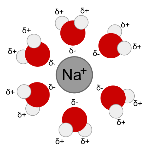 Sodium only attracts the negatively charged end of water molecules, leading to the orientation shown. Public Domain Image.