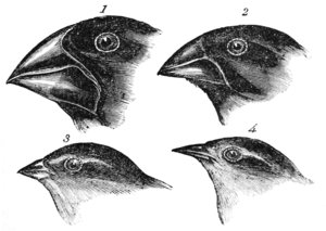 Darwin's sketches of Galapagos finches. From <em>On the Origin of the Species</em>.