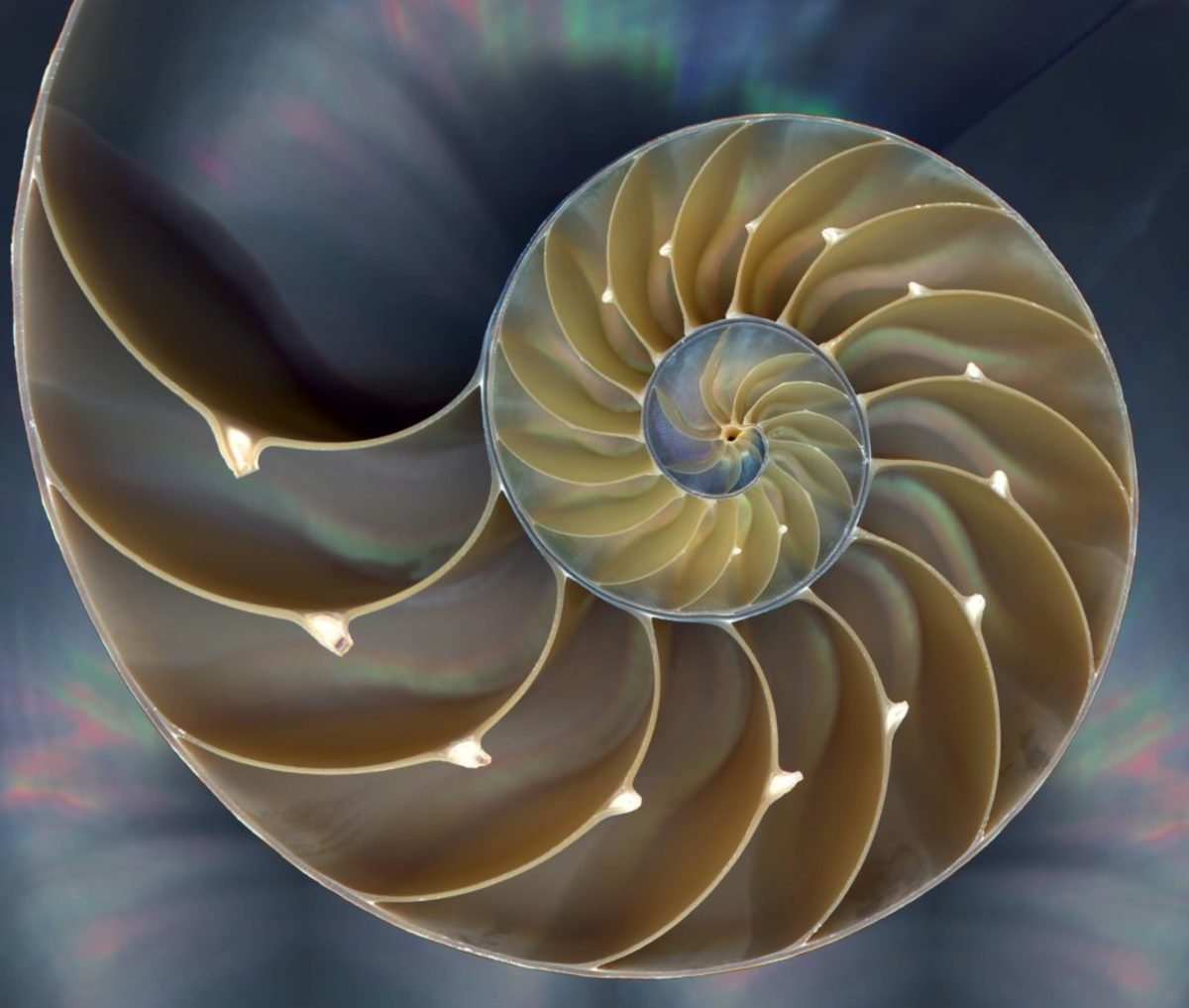 Nautilus shell follows spira mirabilis. Photo credit: www.somanautiko.com