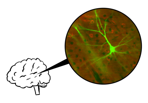 Nedivi et al., PLoS Biology 2005