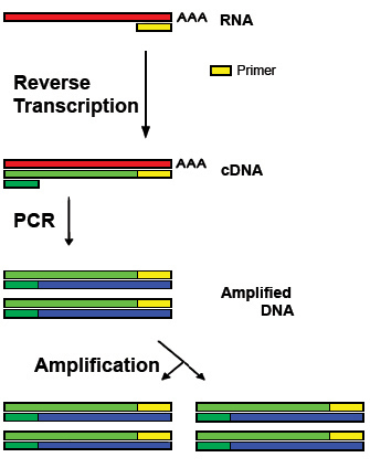 Steps involved in amplifying RNA using PCR. [3]