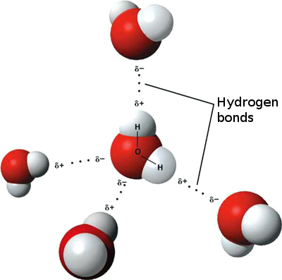 A 3-D model of hydrogen bonding between water molecules. Hydrogen bonds are usually noted by dotted lines.