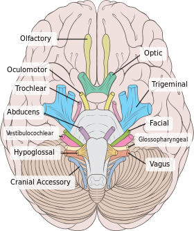 Cranial nerves all you need to know hardipinder singh brilliant the nerves present in our peripheral nervous system are the cranial nerves there are 12 pair of these nerves present meaning that they are present on the ccuart Gallery