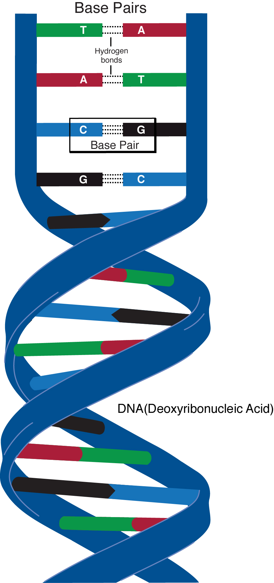 Dna brilliant math science wiki deoxyribonucleic acid dna is the biomolecule that contains the genetic information in all organisms in other words dna is an organisms blueprint dna malvernweather Images