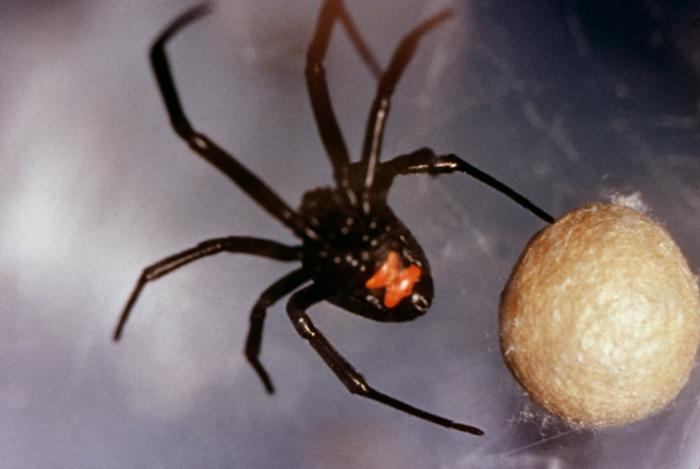 All spiders are carnivorous and venomous. Most are small enough not to cause any trouble for humans, but the bites of recluse spiders (genus \(\textit{Loxosceles}\)) and black widows (genus \(\textit{Latrodectus}\)) can cause painful medical complications.