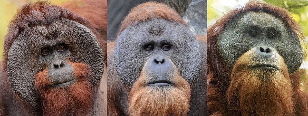 Male Bornean, Sumatran, and Tapanuli oragnutans