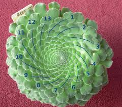 The Fibonacci numbers appear as numbers of spirals in leaves and seedheads as well